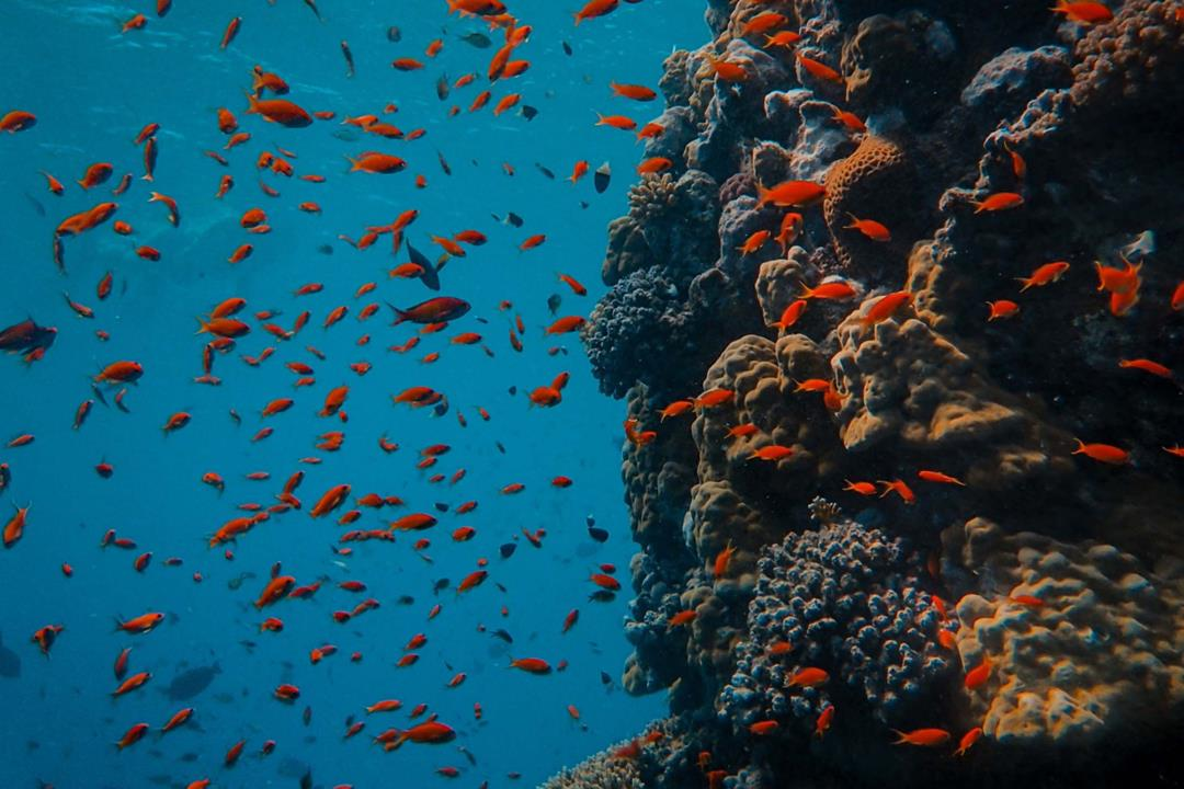 red fish shoal on marine reef